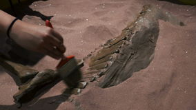 Brushing Off the Bones of a Dinosaur Fossil. A hand brushes off the bones of a dinosaur fossil under the sand with a brush stock footage