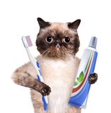 Brushing teeth cat. Royalty Free Stock Images