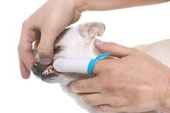 Brushing the teeth of chihuahua Stock Image