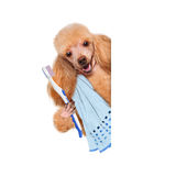 Brushing teeth dog Royalty Free Stock Photo