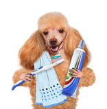 Brushing teeth dog Stock Photos