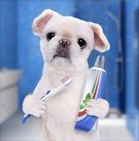 Brushing teeth dog . Royalty Free Stock Photos