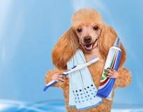 Brushing teeth dog. Royalty Free Stock Image