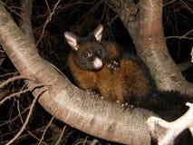 Brushtail负鼠 免版税图库摄影