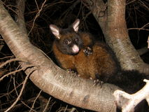 Brushtail Possum Στοκ φωτογραφία με δικαίωμα ελεύθερης χρήσης