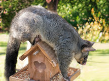 Brushtail Possum. Balancing on top of bird-house Royalty Free Stock Photo