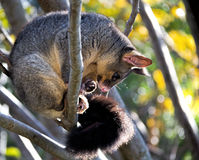 Brushtail Possum. Curled up in tree Royalty Free Stock Images