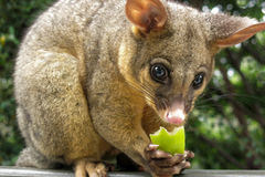 Brushtail possum eating apple. In garden Stock Photos