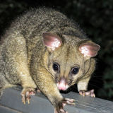 Brushtail possum Royalty Free Stock Image