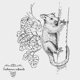 Brushtail Possum Trichosurus vulpecula engraved, hand drawn vector illustration in woodcut scratchboard style, vintage Stock Image