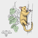 Brushtail Possum Trichosurus vulpecula engraved, hand drawn vector illustration in woodcut scratchboard style, vintage Royalty Free Stock Photo