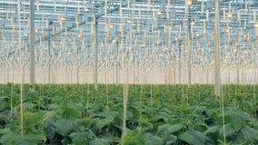 Brushwood των εγκαταστάσεων αγγουριών σε μια ογκώδη πρασινάδα Σύγχρονη έννοια γεωργίας φιλμ μικρού μήκους