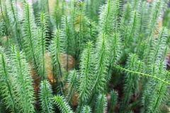 Brushwood of Hypnum cupressiforme Royalty Free Stock Photos
