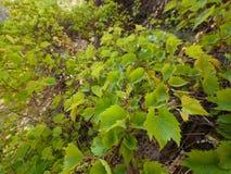 Brushwood of wild grape Stock Photo