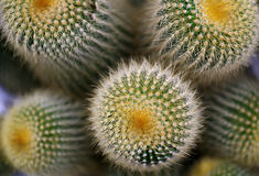 Brushy ball cactus. Spines on the cactus,Macro close-up Royalty Free Stock Image