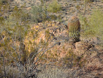 Brushy Spiny Barrel Cactus and Desert Vegetation. Fountain Hills Botanical Garden in Fountain Hills, Arizona, is a gem of desert landscape, geology, and flora Stock Photos