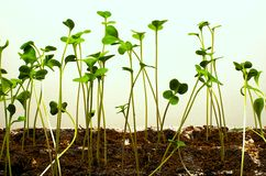 Brussel Sprout Seedlings Royalty Free Stock Photo