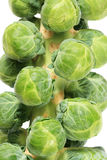 Brussel sprout stalk. Stalk of brussel sprouts on white background Stock Image