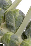Brussel Sprout on Stalk - close up Royalty Free Stock Image