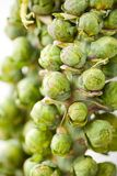 Brussel sprouts Stock Photo