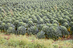 Brussel sprouts growing on farmland UK Royalty Free Stock Image