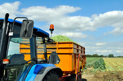 Brussel sprouts loaded in semi trailer Stock Photo