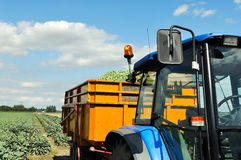Brussel sprouts loaded in semi trailer Royalty Free Stock Photography