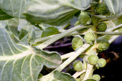 Brussel sprouts on plant Stock Images