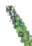Brussel Sprouts Stalk Royalty Free Stock Photos