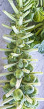Brussel Sprouts on the Stalk Royalty Free Stock Images