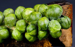 Brussel Sprouts Stalk. Fresh organic brussel sprout stalk Royalty Free Stock Photography