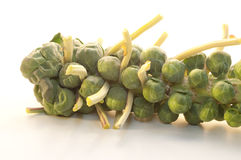 Brussel Sprouts on the stem. Like tiny heads of cabbage, freshly grown Brussel sprouts cling to the stem Stock Images