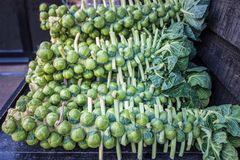 Brussel sprouts on stalks Royalty Free Stock Images