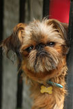 Brussells griffon Royalty Free Stock Photography
