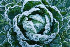 brussels frostgroddar Royaltyfri Foto