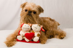 Brussels Griffon Royalty Free Stock Photo