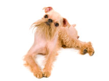 Brussels griffon Stock Photography