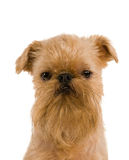 Brussels griffon Royalty Free Stock Image