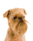 Brussels griffon Stock Photo