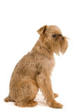 Brussels griffon Stock Images