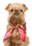 Brussels Griffon in a bandana Royalty Free Stock Photos