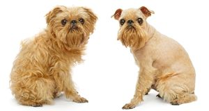 Dog before and after haircut. Brussels Griffon dog breed before and after haircut isolated on white stock photo