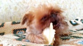 Brussels Griffon Dog chews stock video