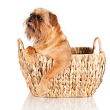 Brussels Griffon dog in a basket Stock Photography
