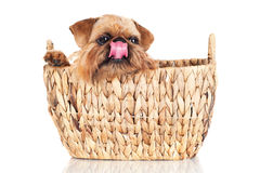 Brussels Griffon dog in a basket Stock Image