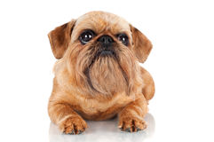 Brussels Griffon dog lying down Royalty Free Stock Image