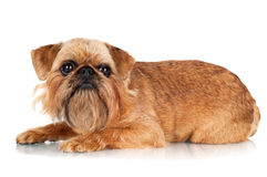 Brussels Griffon dog lying down Stock Photos