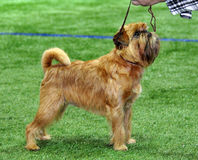 Brussels Griffon Dog. Originally bred to hunt and kill rats, this former Belgian street dog is a distinctive and unusual dog breed. Although he's small, he's Royalty Free Stock Images