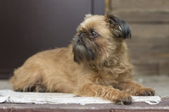 Brussels Griffon. Dog - a Brussels Griffon, Portrait of a little red dog Stock Photos