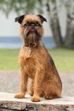 Brussels Griffon dog portrait Stock Photos